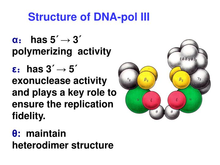 Structure of DNA-pol III