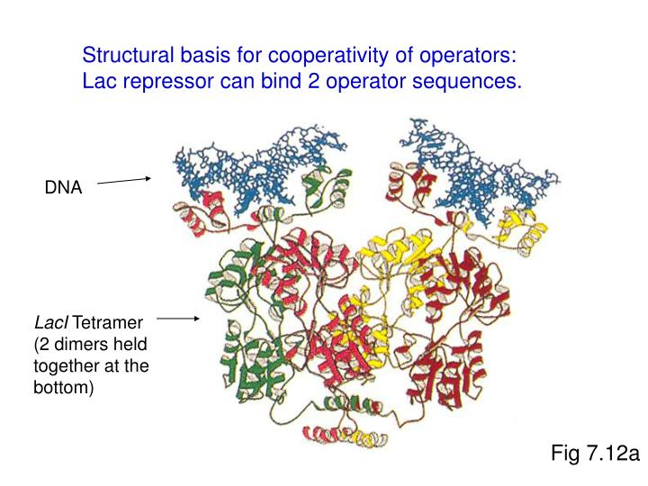 Structural basis for cooperativity of operators: Lac repressor can bind 2 operator sequences.