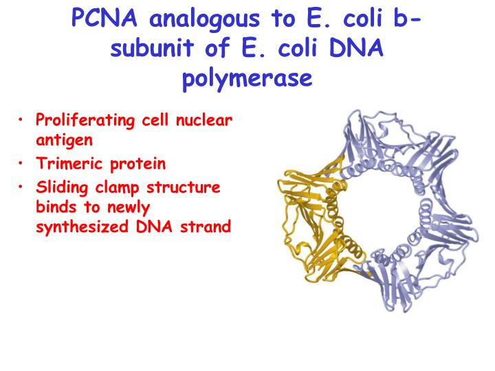 PCNA analogous to E. coli b-subunit of E. coli DNA polymerase