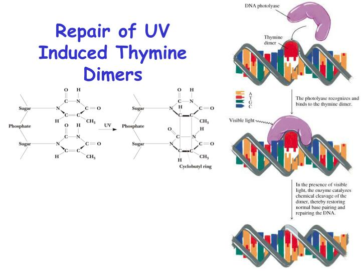 Repair of UV Induced Thymine Dimers
