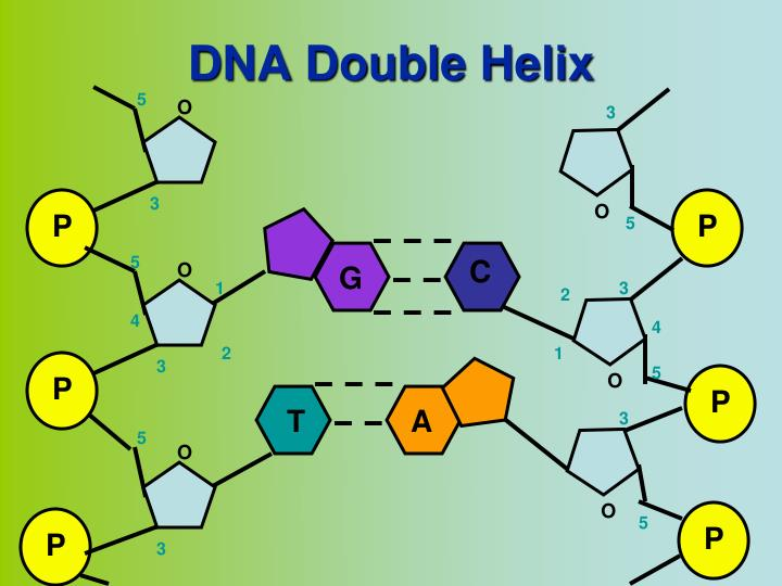 Double Helix notes - BIOLOGY JUNCTION