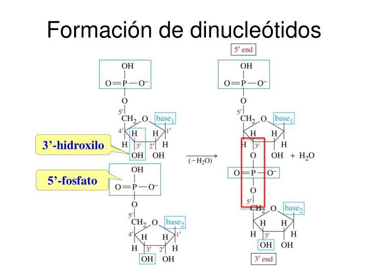 Formación de dinucleótidos