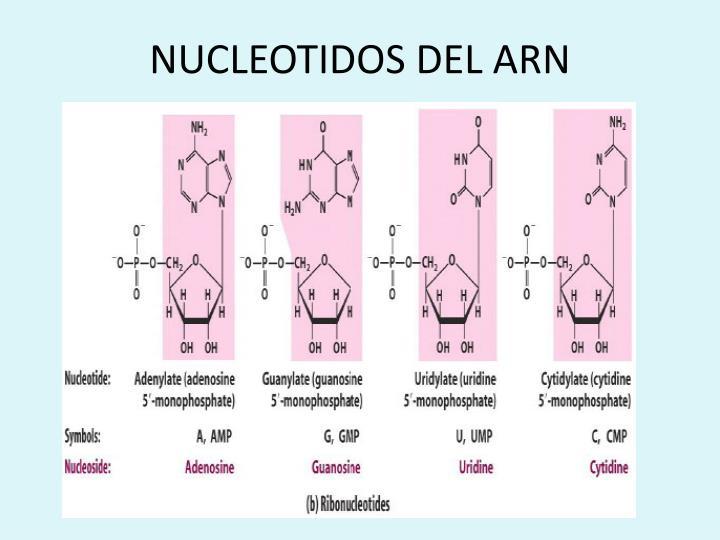 NUCLEOTIDOS DEL ARN