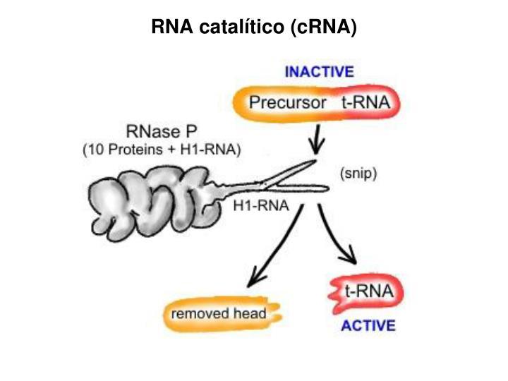 RNA catalítico (cRNA)