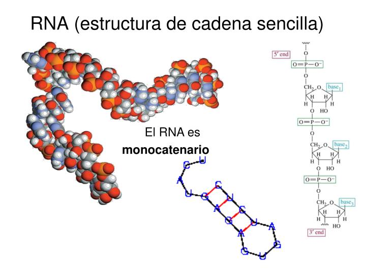 RNA (estructura de cadena sencilla)