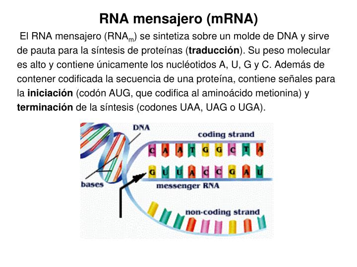 RNA mensajero (mRNA)