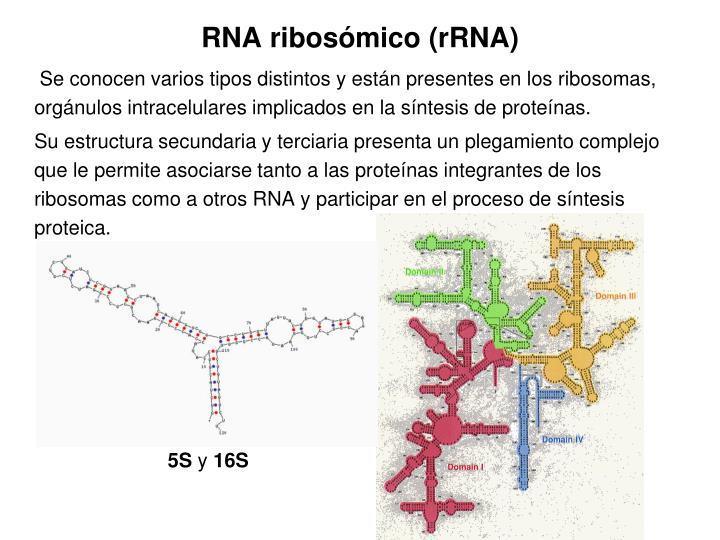 RNA ribosómico (rRNA)