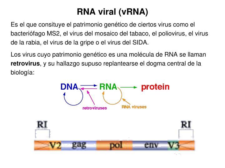 RNA viral (vRNA)