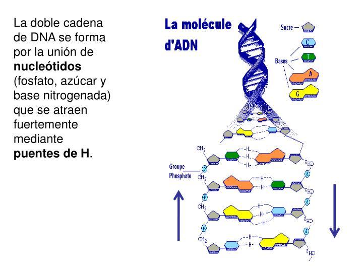 La doble cadena de DNA se forma por la unión de