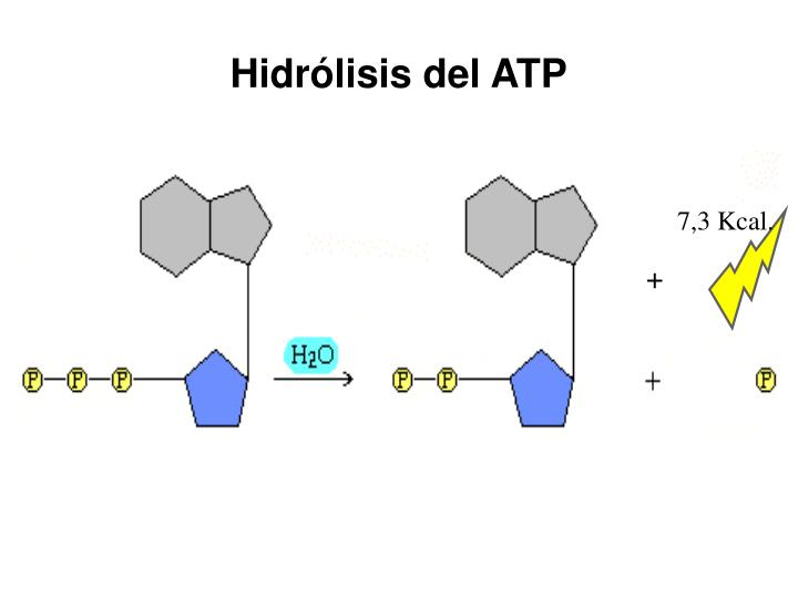 Hidrólisis del ATP