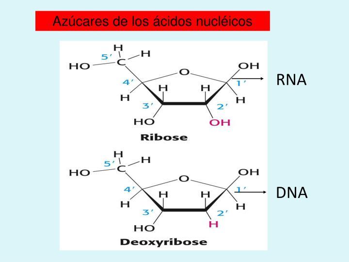 Azúcares de los ácidos nucléicos