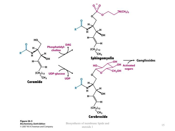 Biosynthesis of membrane lipids and steroids 1