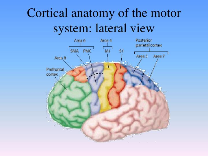 Cortical anatomy of the motor system: lateral view