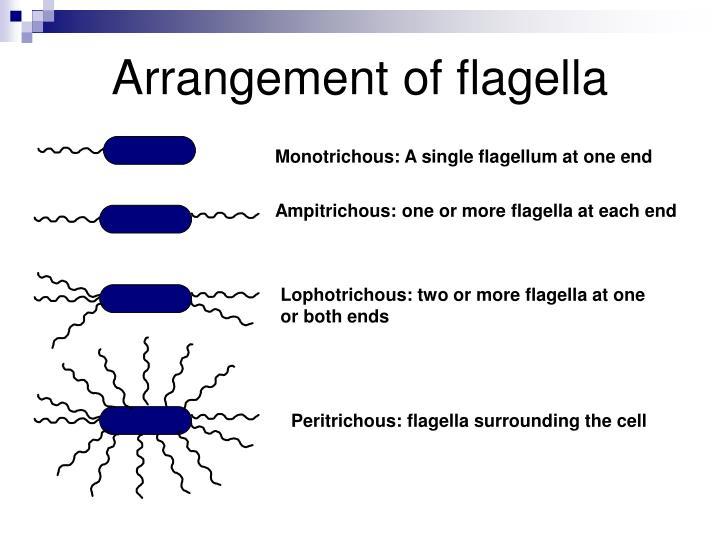 Arrangement of flagella