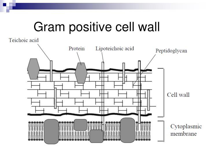 Gram positive cell wall