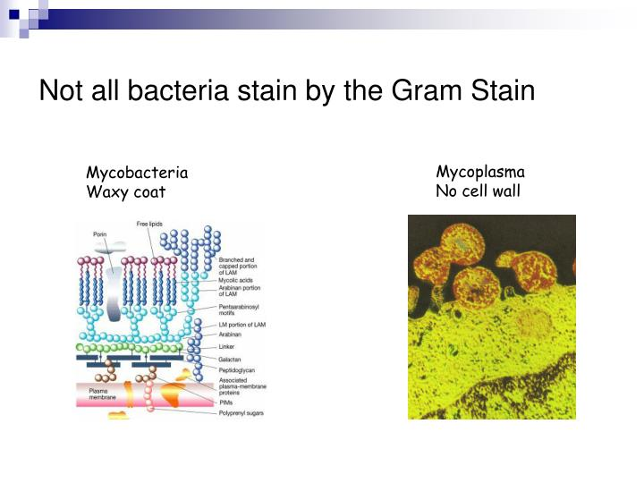 Not all bacteria stain by the Gram Stain