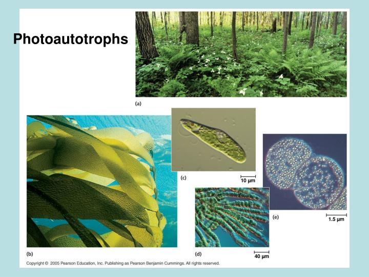 Photoautotrophs