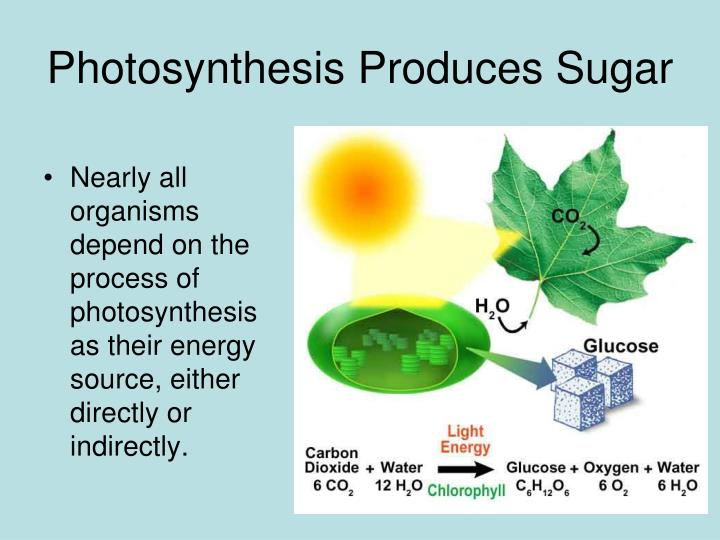 Photosynthesis Produces Sugar