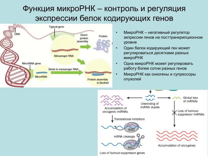 Функция микроРНК – контроль и регуляция экспрессии белок кодирующих генов