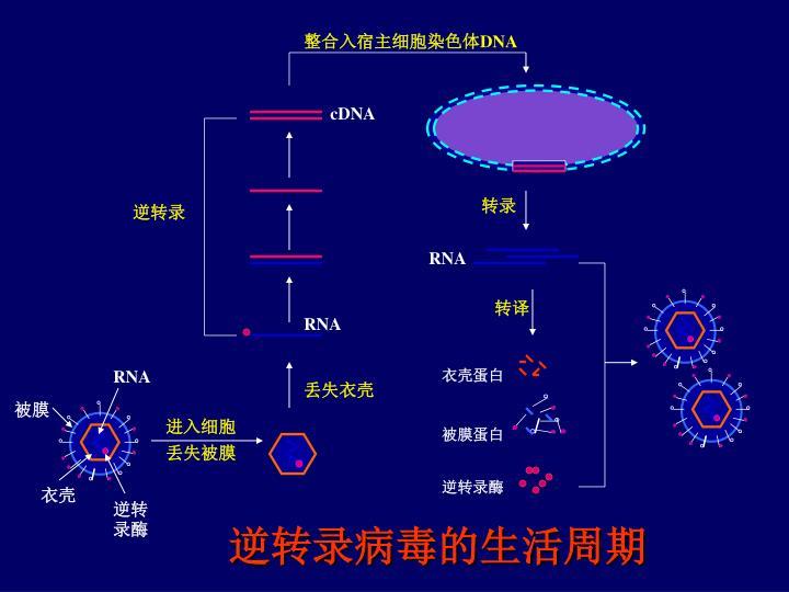 逆转录病毒的生活周期
