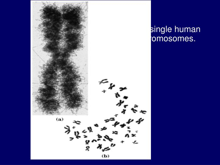 A  single human chromosomes.