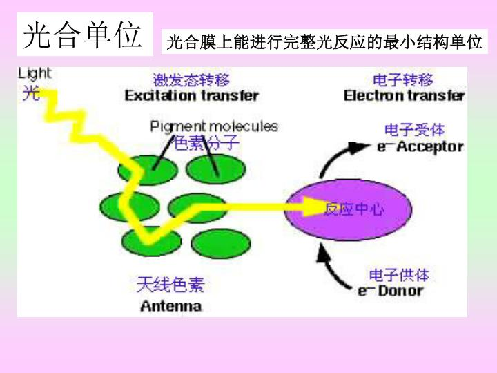 光合膜上能进行完整光反应的最小结构单位
