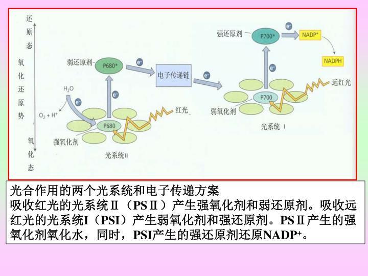 光合作用的两个光系统和电子传递方案