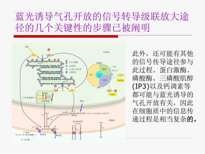 蓝光诱导气孔开放的信号转导级联放大途径的几个关键性的步骤已被阐明