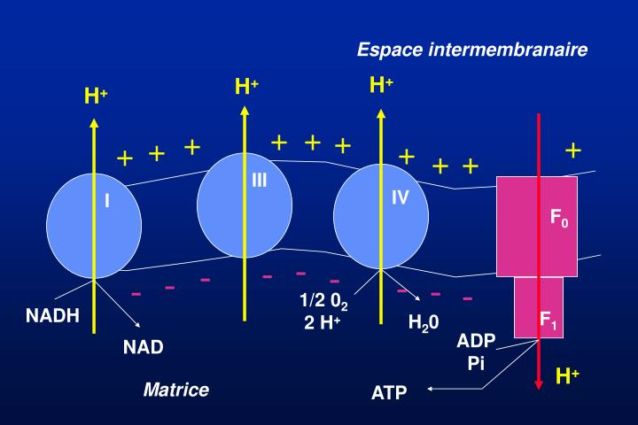 Espace intermembranaire