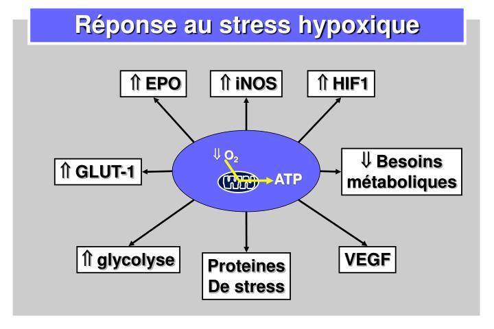 Réponse au stress hypoxique