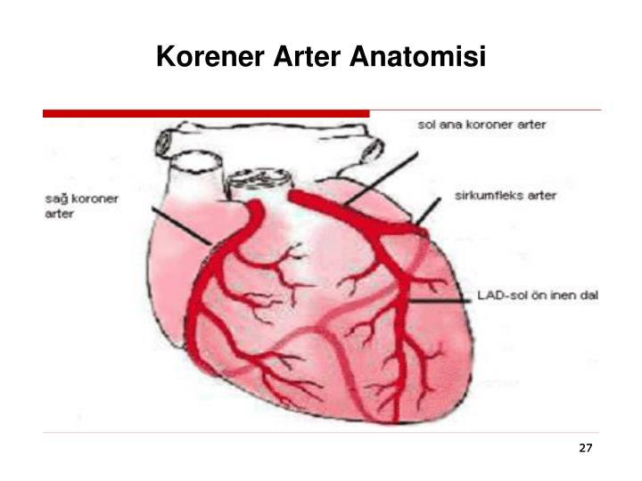 Korener Arter Anatomisi