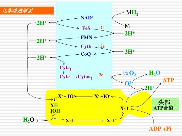 化学渗透学说