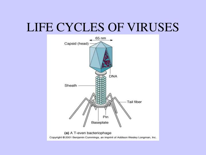 LIFE CYCLES OF VIRUSES