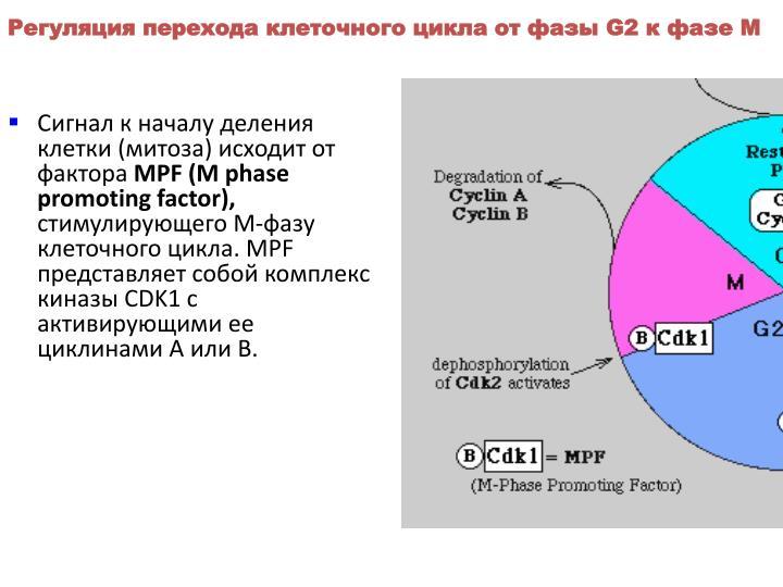 Регуляция перехода клеточного цикла от фазы