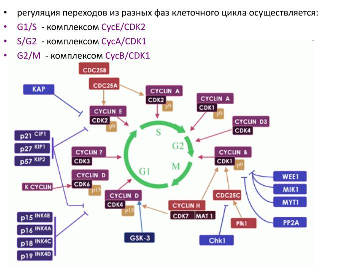 регуляция переходов из разных фаз клеточного цикла осуществляется: