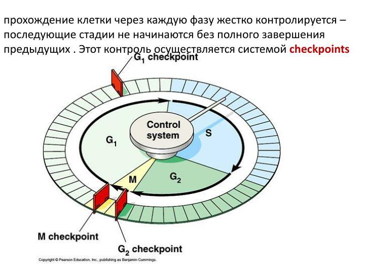 прохождение клетки через каждую фазу жестко контролируется – последующие стадии не начинаются без полного завершения предыдущих . Этот контроль осуществляется системой