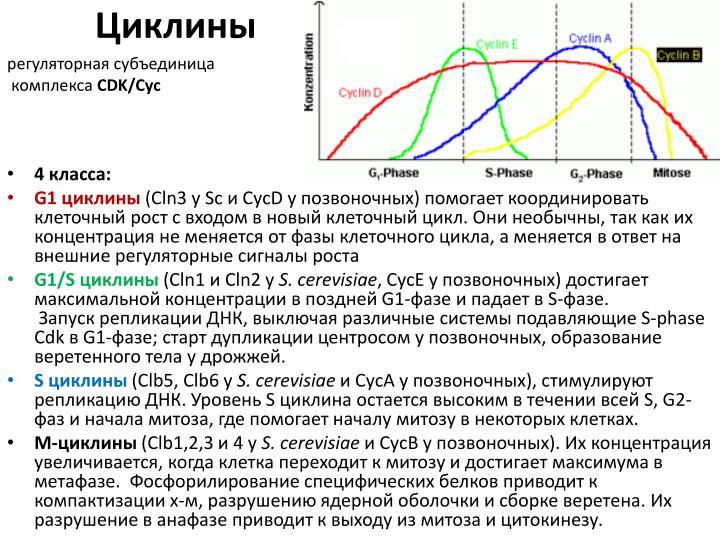 Циклины