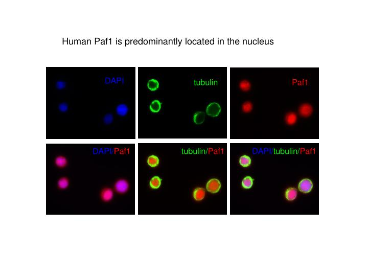 Human Paf1 is predominantly located in the nucleus