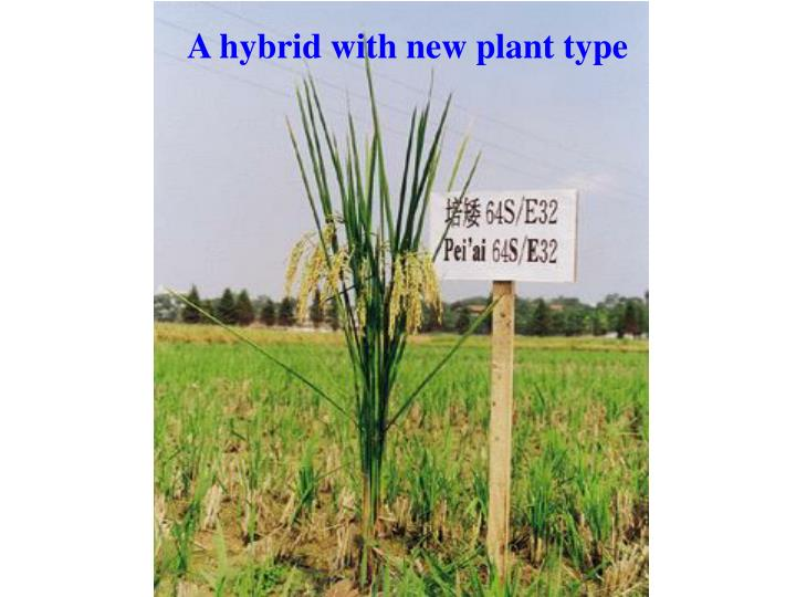 A hybrid with new plant type
