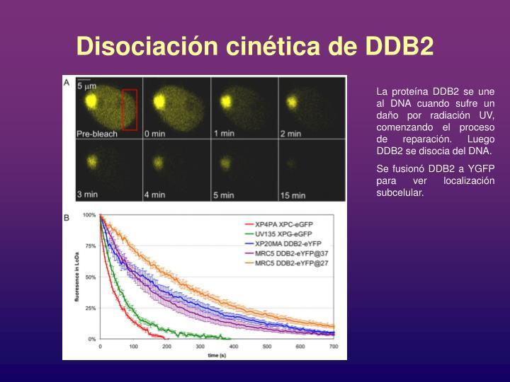 Disociación cinética de DDB2