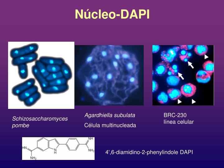 Núcleo-DAPI