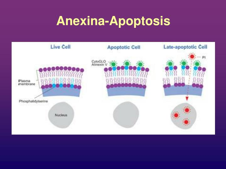 Anexina-Apoptosis