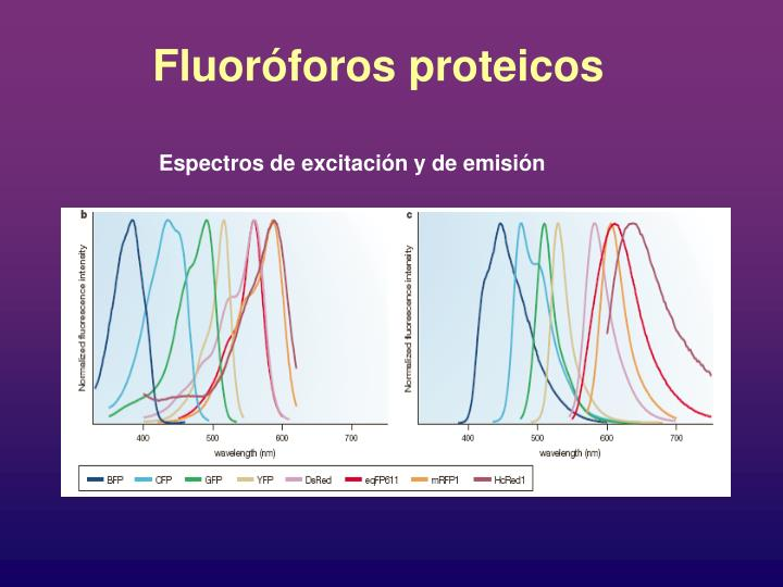 Fluoróforos proteicos