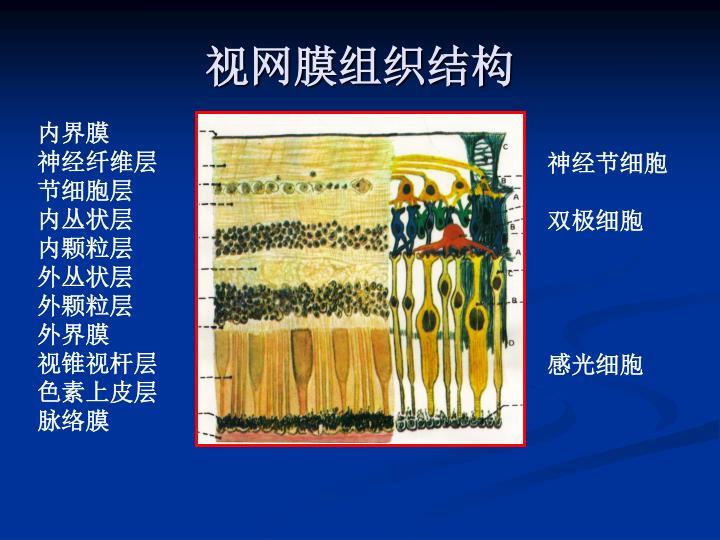视网膜组织结构