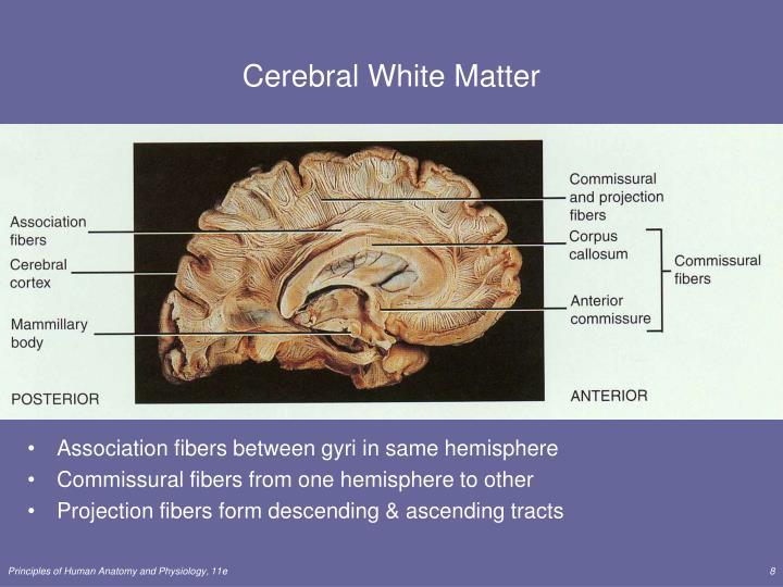 Cerebral White Matter