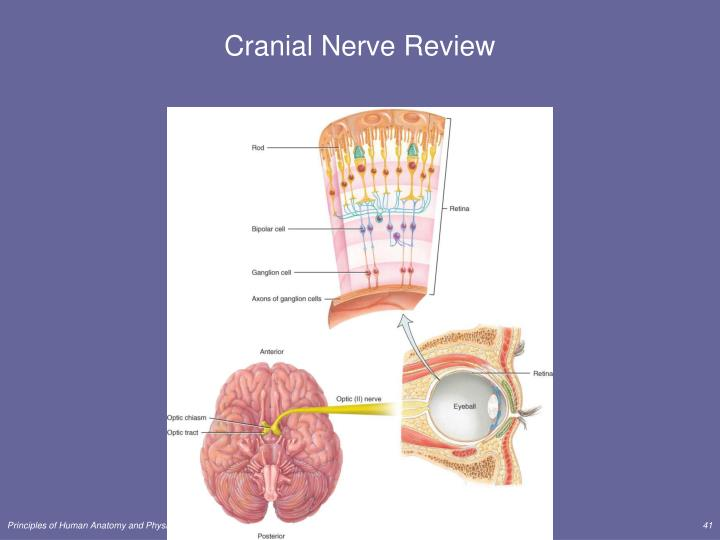 Cranial Nerve Review