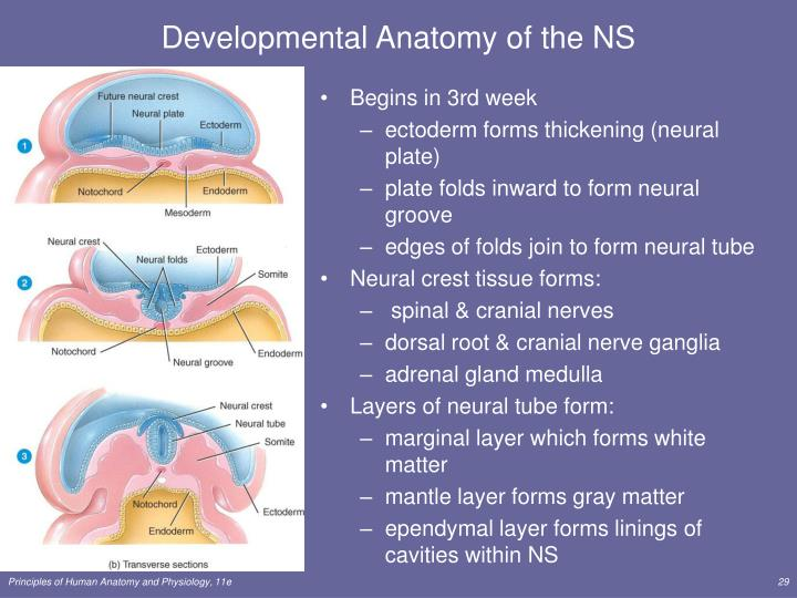 Developmental Anatomy of the NS
