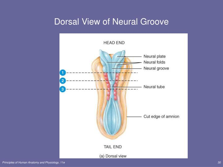 Dorsal View of Neural Groove