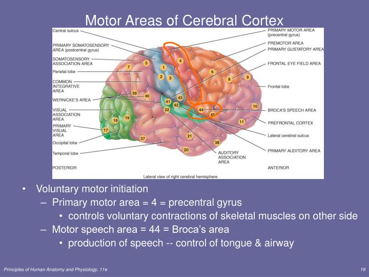 Motor Areas of Cerebral Cortex