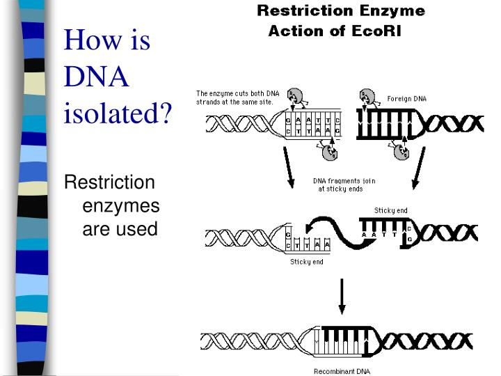 How is DNA isolated?